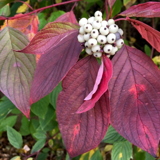 White dogwood berries against red foliage