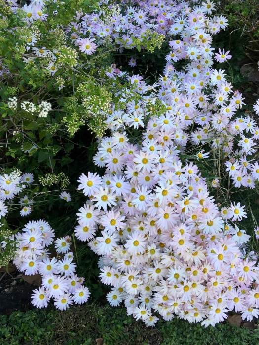 Chrysanthemum 'Clara Curtis' - hardy mum