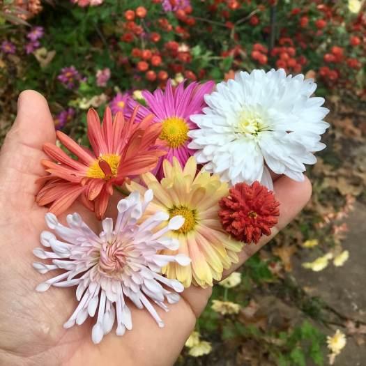 Collection of chrysanthemum x rubellum