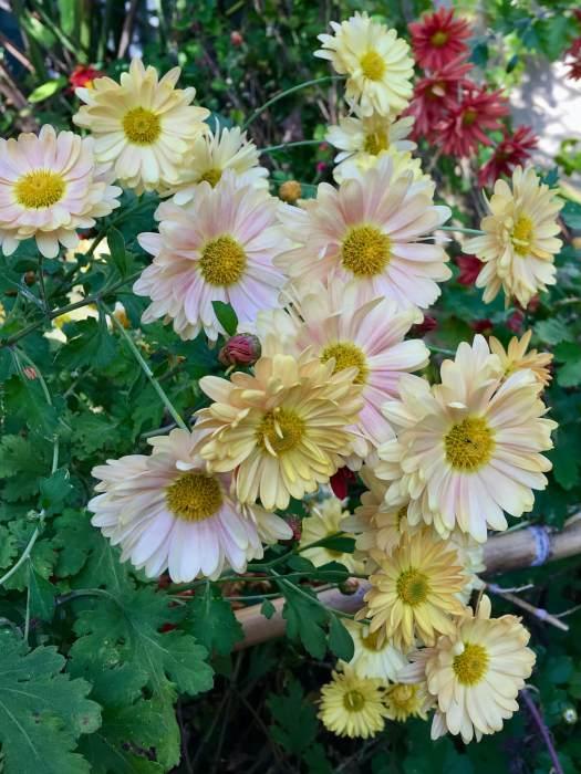 Chrysanthemum x rubellum 'Judy's Yellow'