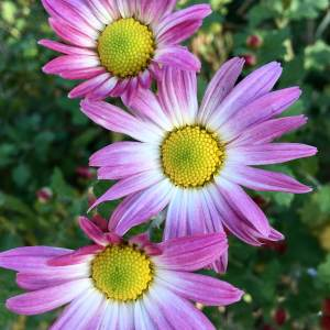 Chrysanthemum x rubellum pink and white seedling