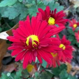 Chrysanthemum x rubellum red