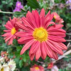 Chrysanthemum x rubellum russet