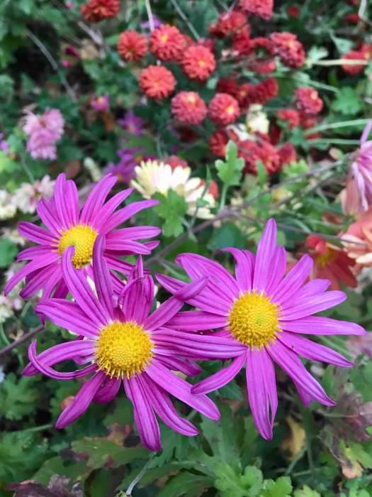Pink Chrysanthemum x rubellum
