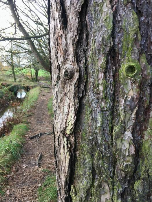 Guardian tree near a fairy bridge