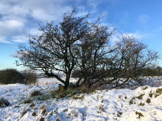 Hawthorn tree in snowy landscape