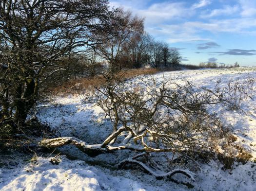 Hawthorn tree with fallen limb in the snow