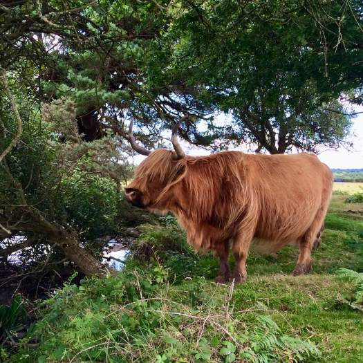 Long haired cow with horns (Highland cattle)