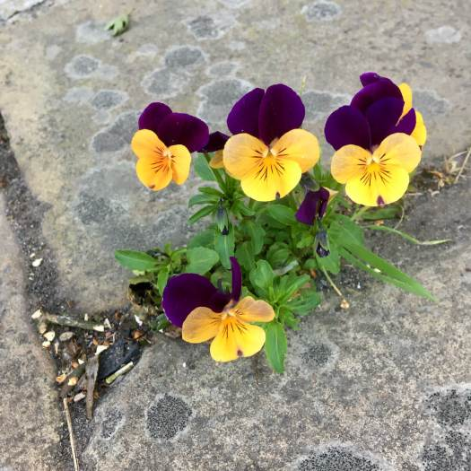 Viola growing in a crack in the pavement