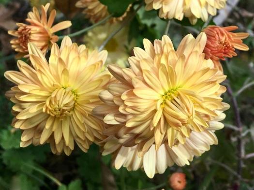 Yellow double chrysanthemum