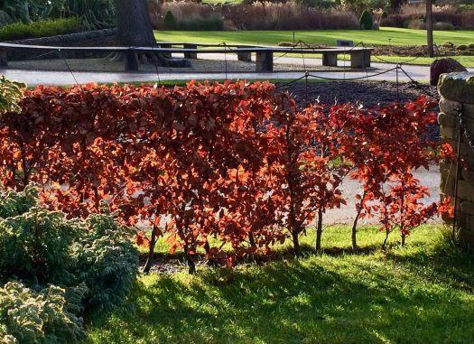 Beech hedge backlit
