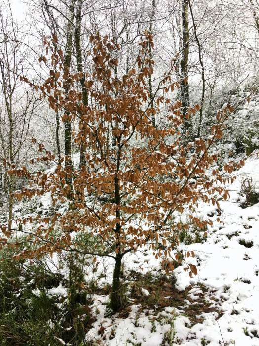 Beech tree in snow