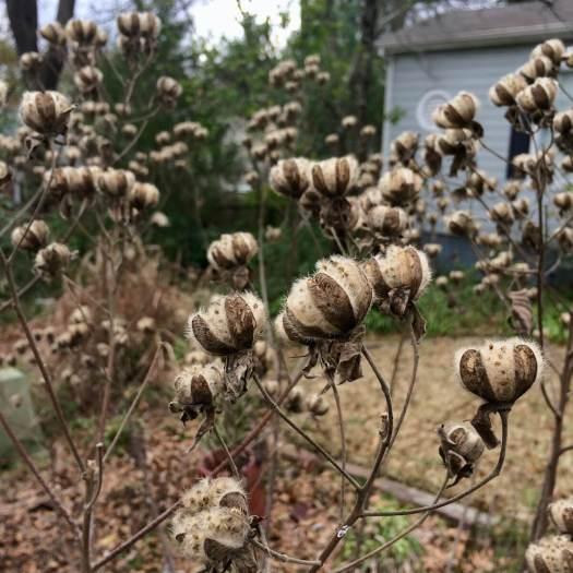 Fluffy seeds