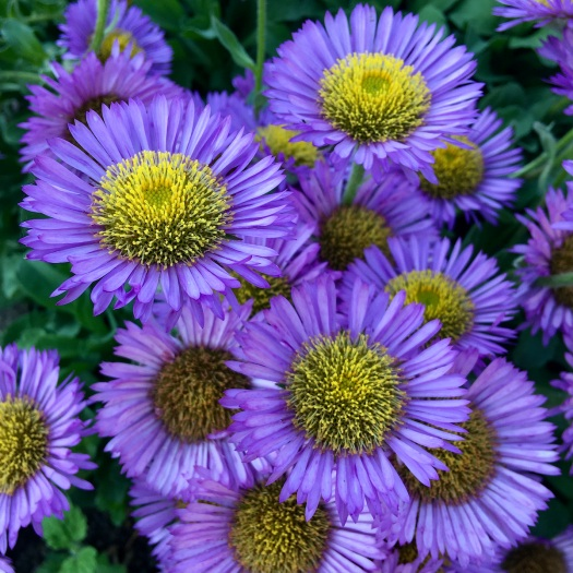 Erigeron - cluster of purple daisies with yellow centres