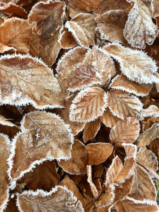 Beech leaves frosted in winter