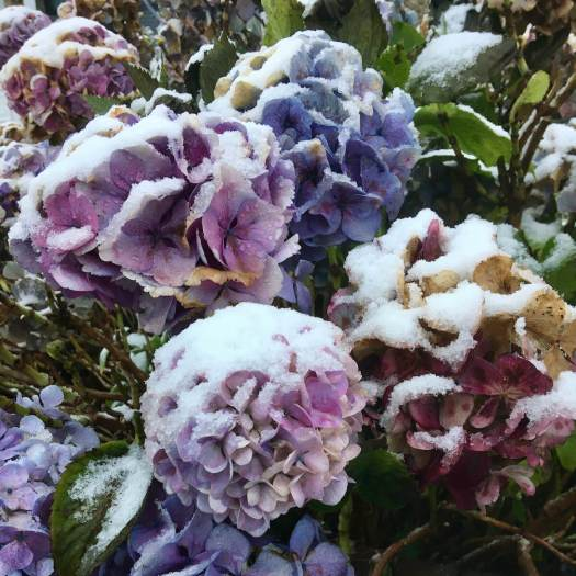 Blue Hydrangea in the snow