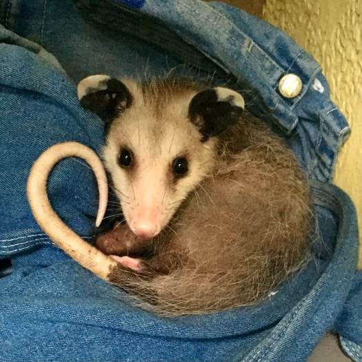 Small possum snuggled in jeans