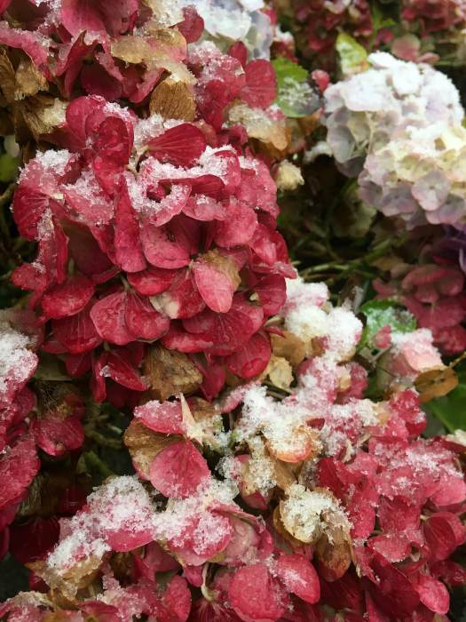 Red hydrangea with a sprinkling of snow