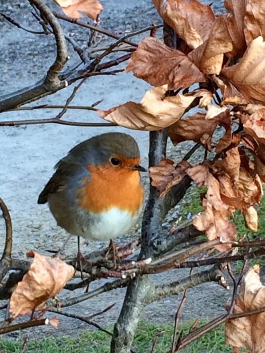Robin on a beech