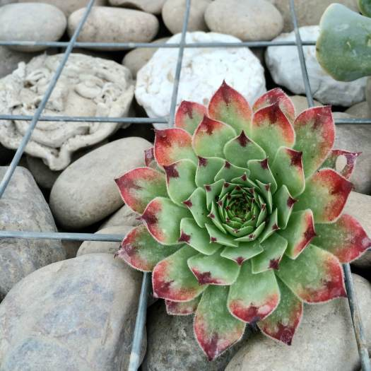 Sempervivum in a cage of rocks