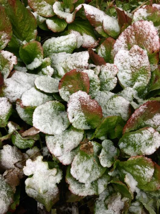 Bergenia leaves in the snow