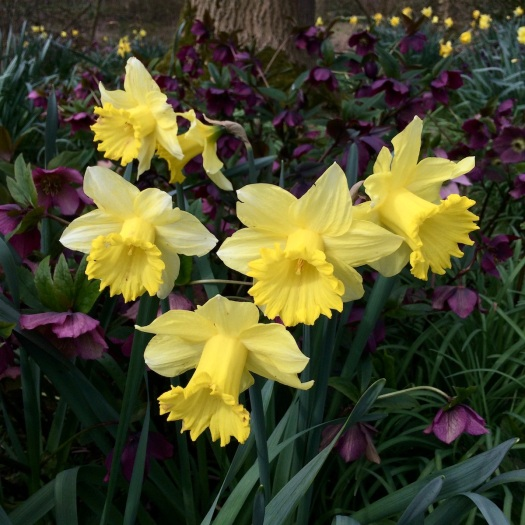 Daffodils with hellebores