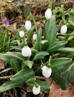 Galanthus plicatus with broad leaves