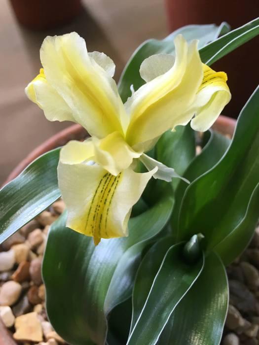 Iris aff. pseudocaucasica
