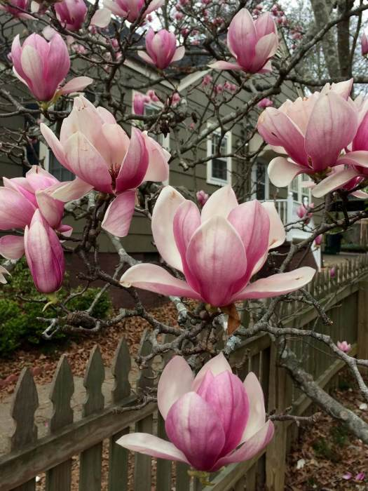 Magnolia x soulangeana flowers seem to float on bare branches