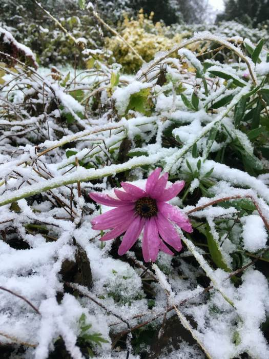One pink daisy in a snow-covered garden