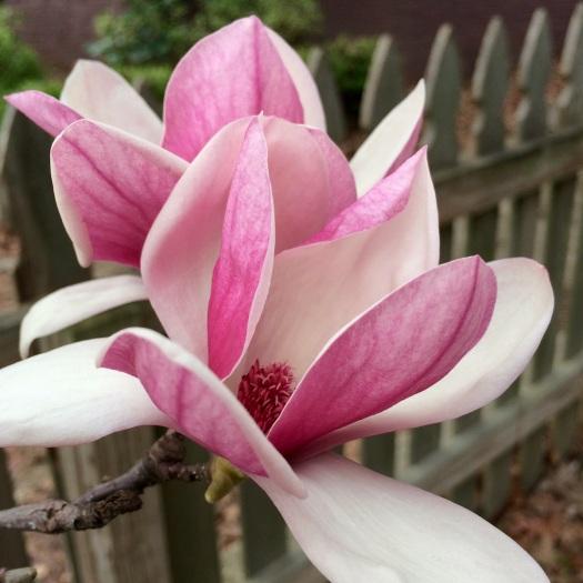 Pink magnolia (Magnolia x soulangeana)