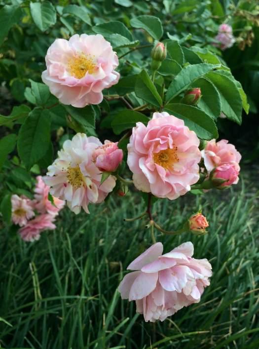 Rosa 'Cornelia'