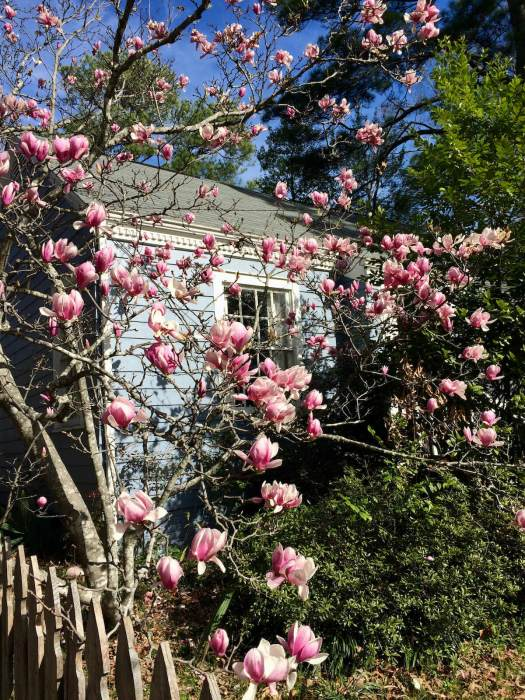 Saucer magnolia with pink flowers in a garden