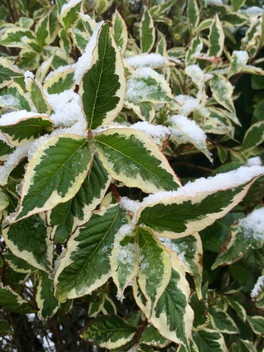 Snow forms an extra layer on a variegated leaf