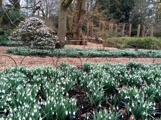 Drift of snowdrops at Ness Botanic Gardens