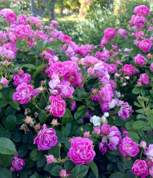Romantic tumble of roses at the Antique Rose Emporium
