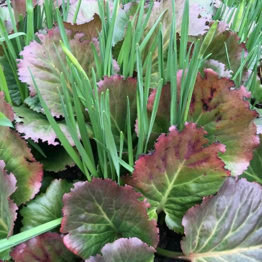 Bergenia and daffodil leaves