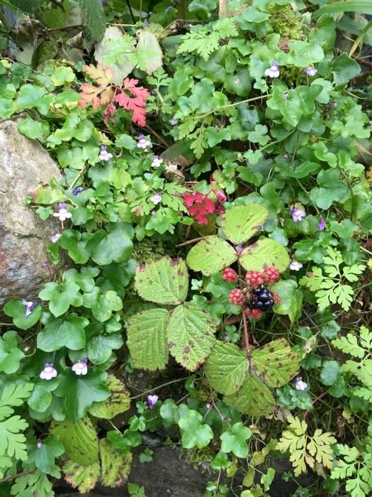 Blackberry, Herb Robert and Kenilworth ivy