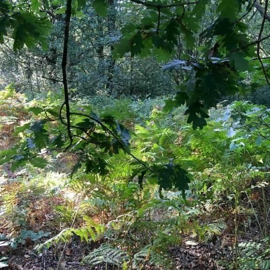 Looking out towards bracken from under an oak tree