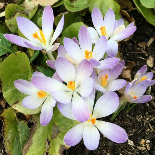 Pale crocus