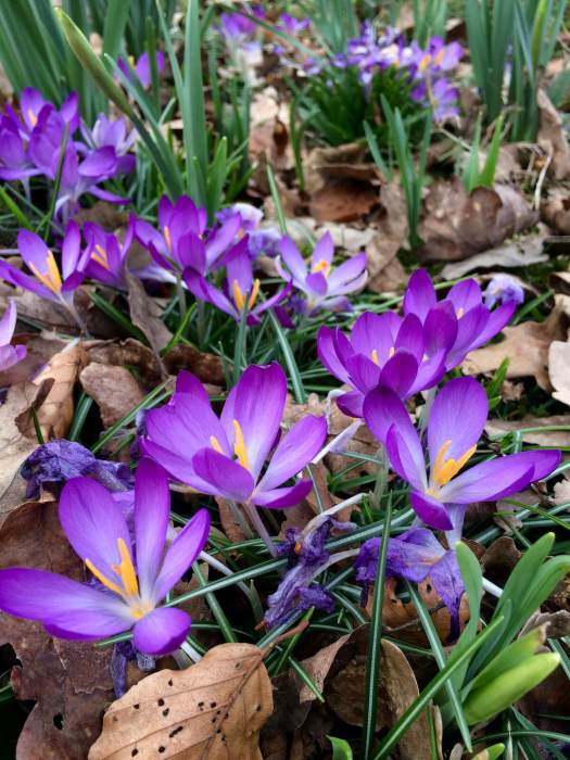 Purple crocus among leaf litter