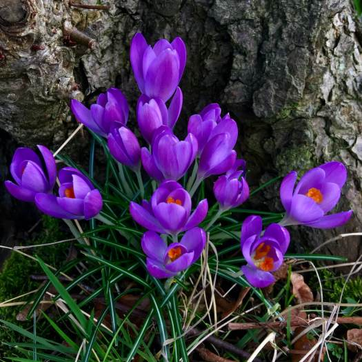 Purple crocuses growing at the foot of a tree