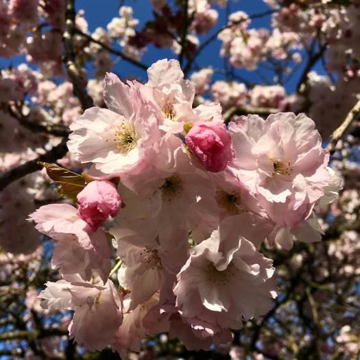Cherry blossom against a blue sky