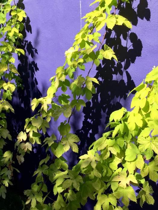 Humulus lupulus 'Aureus | Golden hops vine