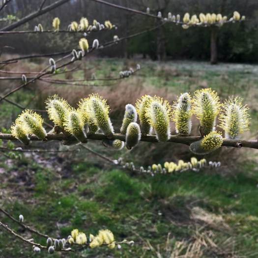 Male pussy willow: catkin with yellow pollen