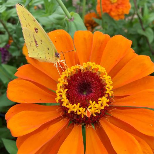 Orange zinna with pale yellow butterfly