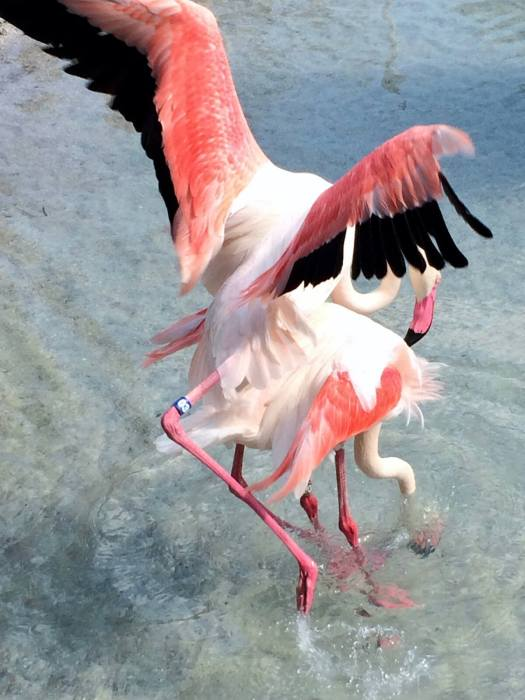 Greater flamingos mating