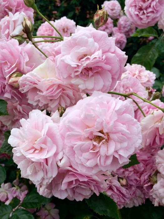 Pink roses at Rosemoor garden