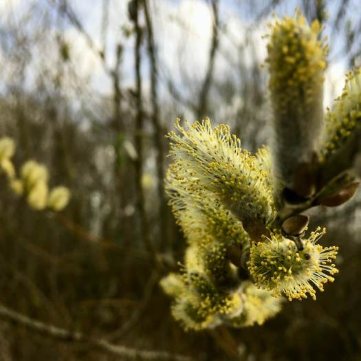 Pussy willow with pollen