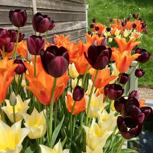 Mixing colours of tulips: purple, orange and yellow